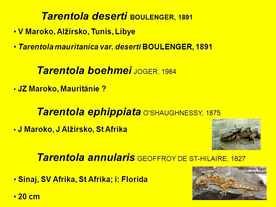 Tarentola boehmei JOGER, 1984 JZ Maroko, Mauritánie .