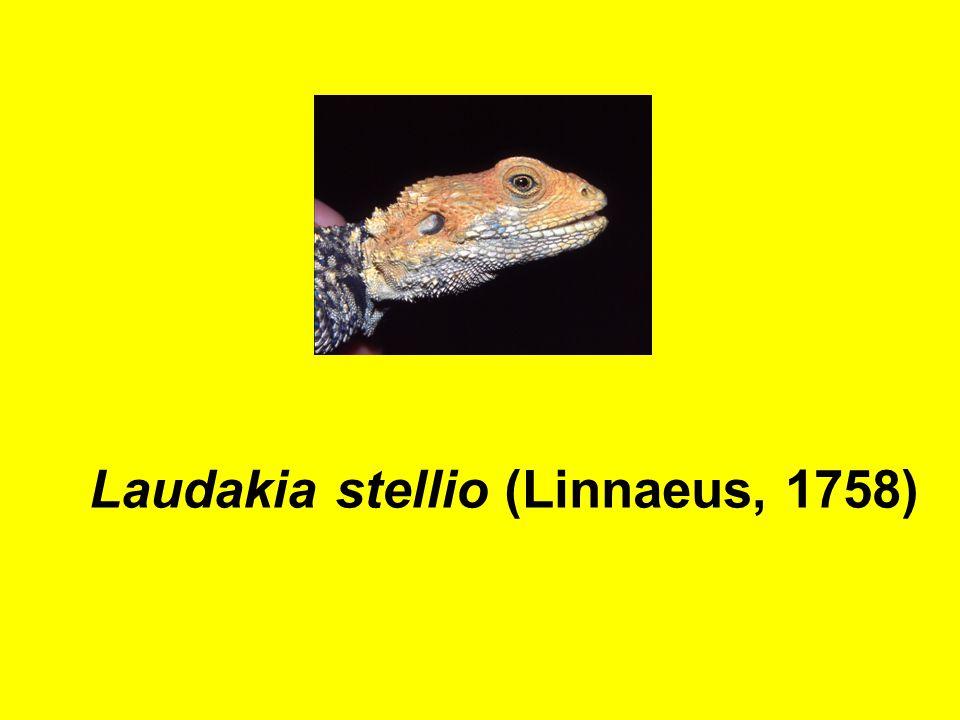 Laudakia stellio (Linnaeus, 1758)