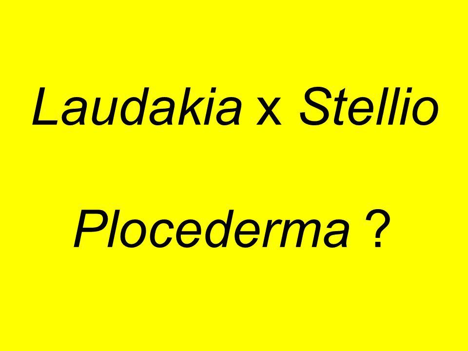 Laudakia x Stellio Plocederma ?