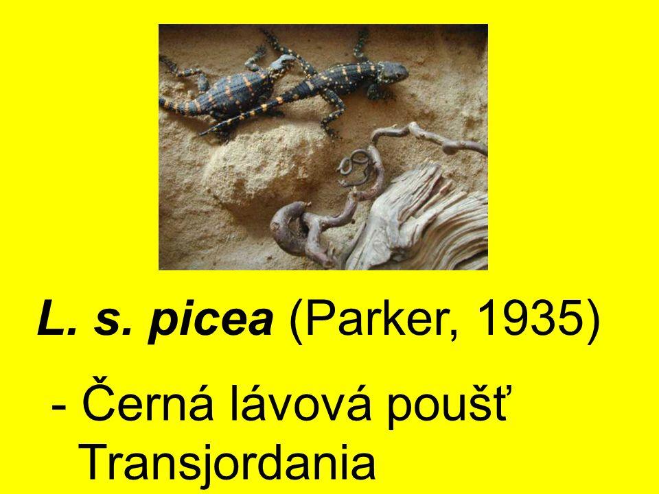 L. s. picea (Parker, 1935) - Černá lávová poušť Transjordania