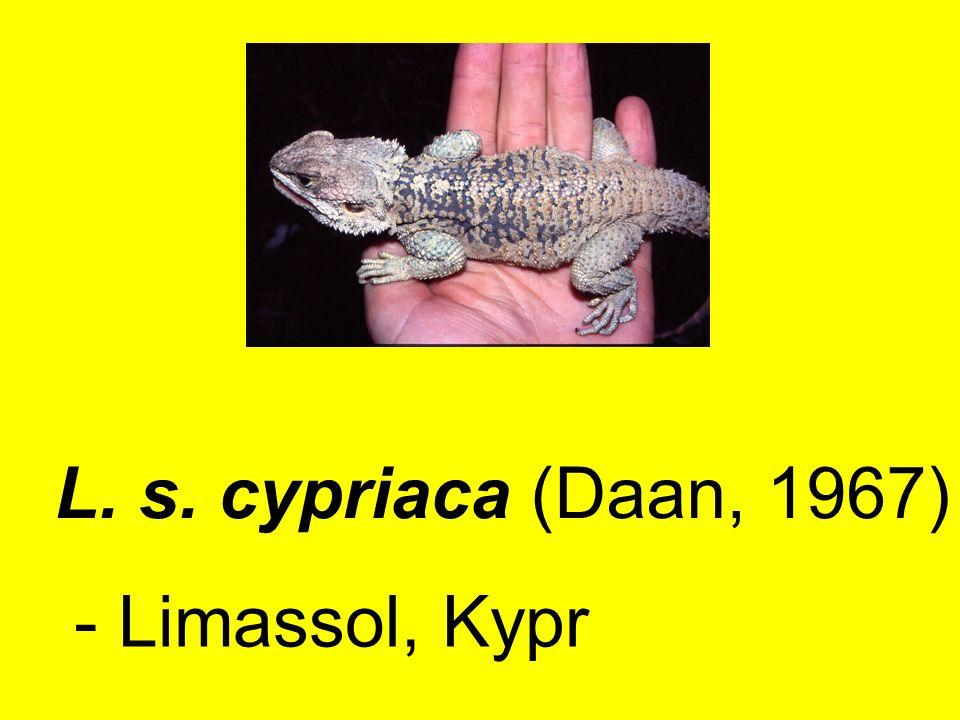 L. s. cypriaca (Daan, 1967) - Limassol, Kypr