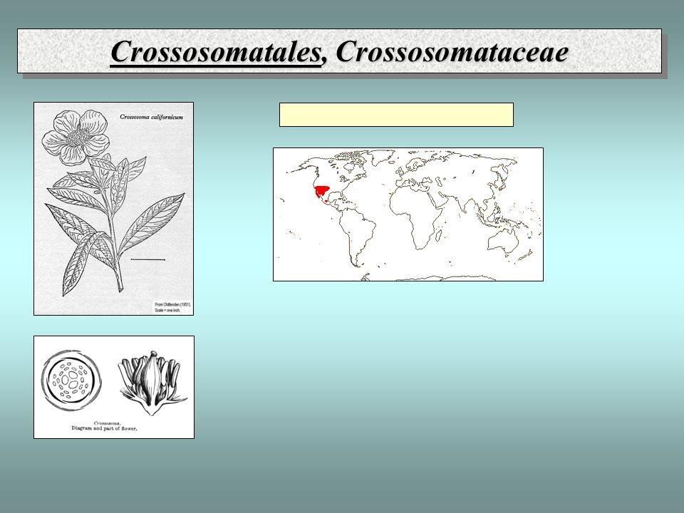 Crossosomatales, Crossosomataceae
