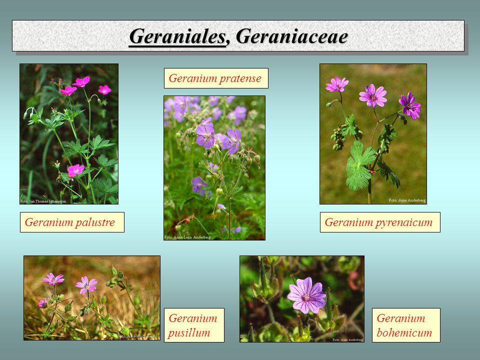 Geraniales, Geraniaceae Geranium bohemicum Geranium palustre Geranium pratense Geranium pusillum Geranium pyrenaicum
