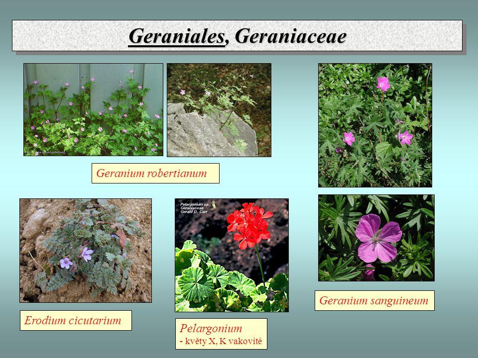 Geraniales, Geraniaceae Erodium cicutarium Geranium robertianum Geranium sanguineum Pelargonium - květy X, K vakovité