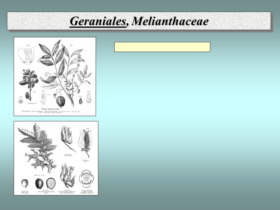 Geraniales, Melianthaceae