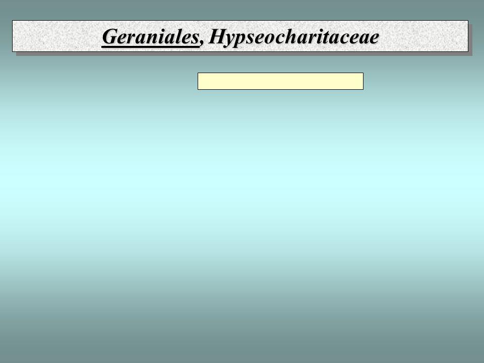 Geraniales, Hypseocharitaceae