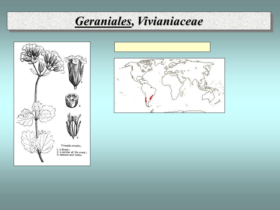 Geraniales, Vivianiaceae