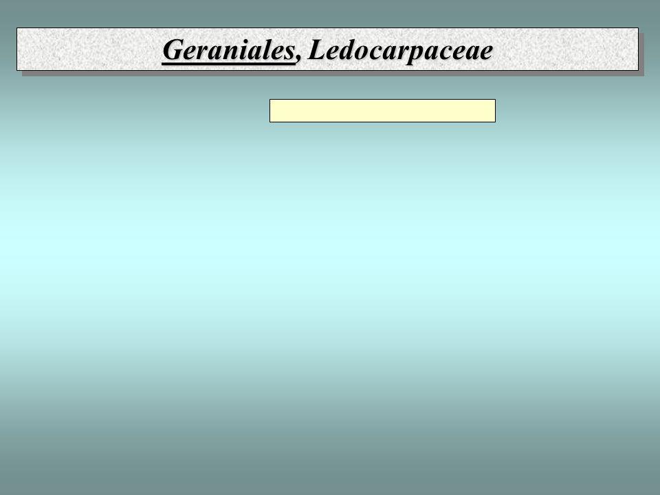 Geraniales, Ledocarpaceae
