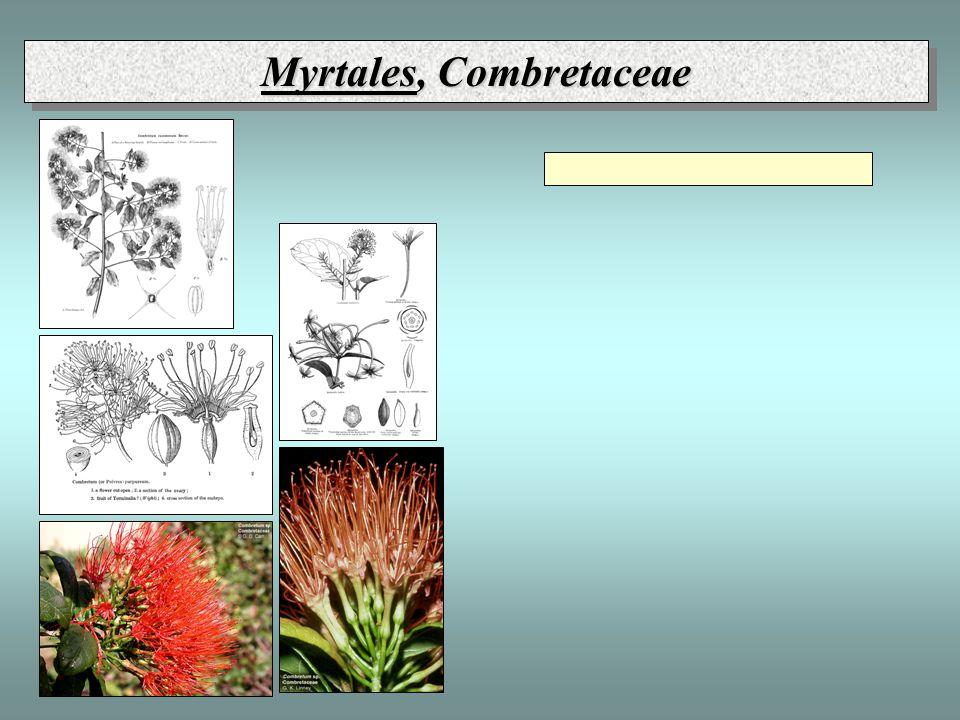 Myrtales, Combretaceae