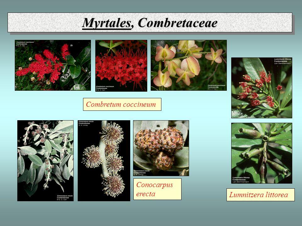 Combretum coccineum Lumnitzera littorea Conocarpus erecta