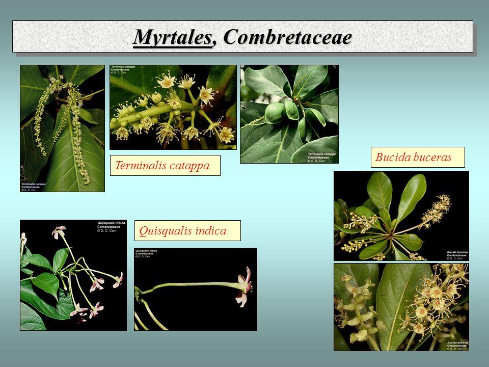 Myrtales, Combretaceae Quisqualis indica Bucida buceras Terminalis catappa