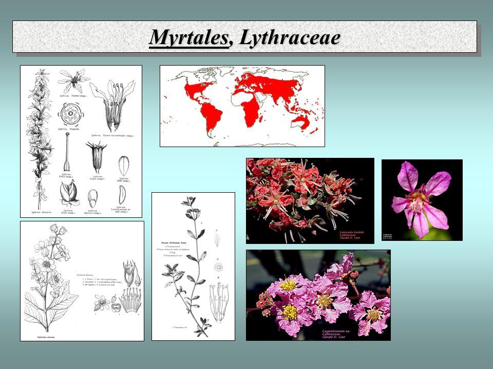 Myrtales, Lythraceae