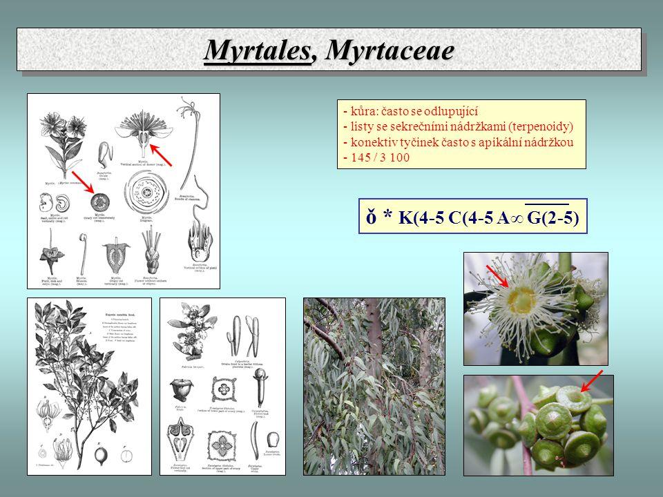 Myrtales, Myrtaceae - kůra: často se odlupující - listy se sekrečními nádržkami (terpenoidy) - konektiv tyčinek často s apikální nádržkou - 145 / 3 100 ǒ * K(4-5 C(4-5 A∞ G(2-5)