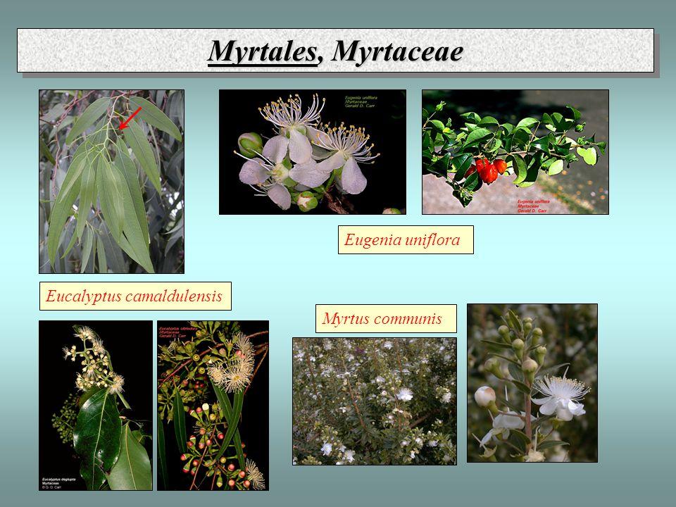 Myrtales, Myrtaceae Eucalyptus camaldulensis Myrtus communis Eugenia uniflora