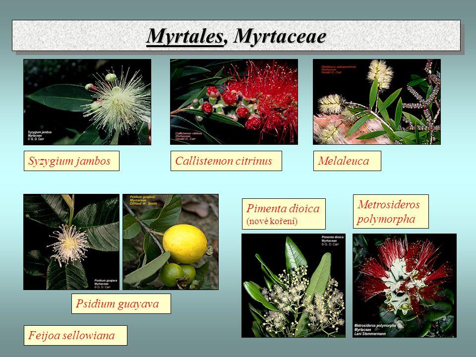 Myrtales, Myrtaceae Pimenta dioica (nové koření) Psidium guayava Feijoa sellowiana Syzygium jambosCallistemon citrinusMelaleuca Metrosideros polymorpha