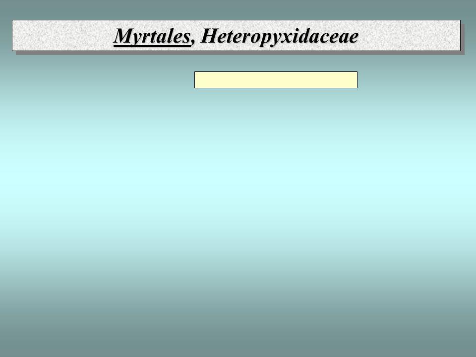 Myrtales, Heteropyxidaceae