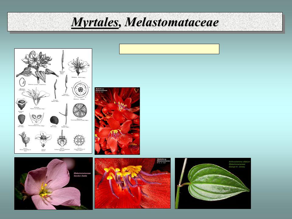 Myrtales, Melastomataceae