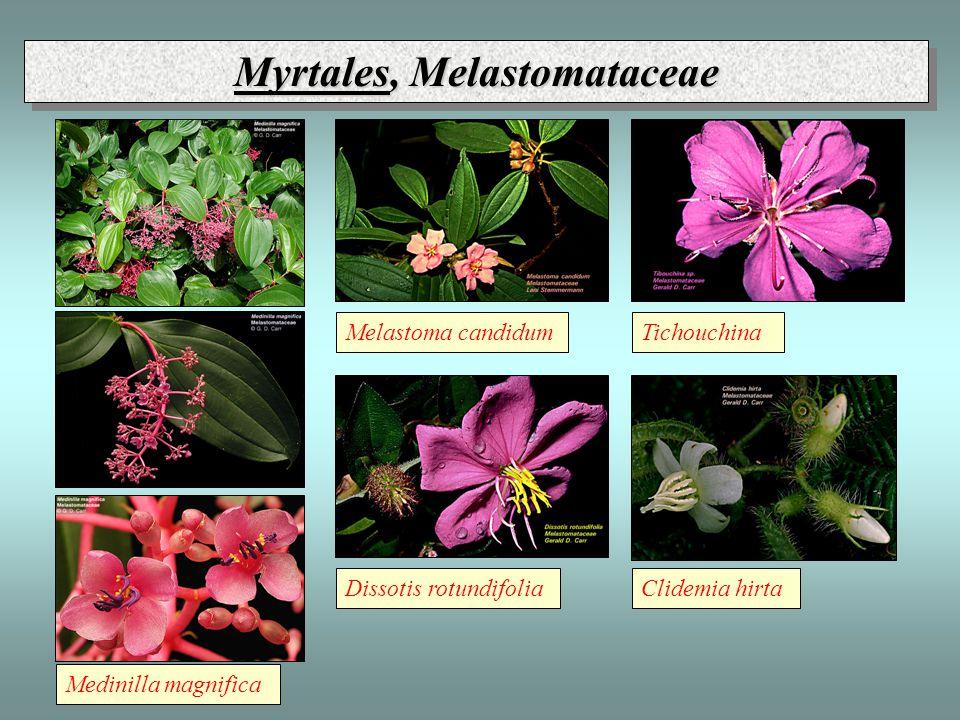 Medinilla magnifica Melastoma candidumTichouchina Dissotis rotundifoliaClidemia hirta