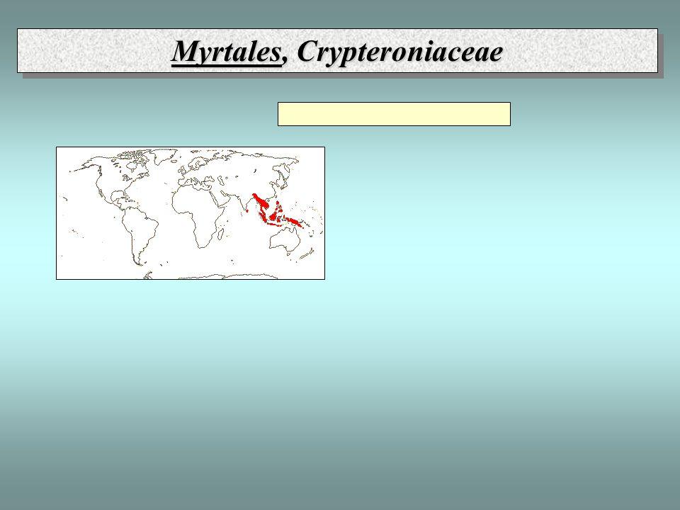 Myrtales, Crypteroniaceae