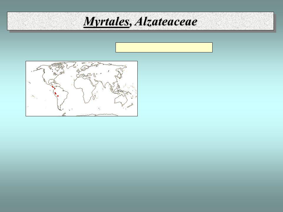 Myrtales, Alzateaceae
