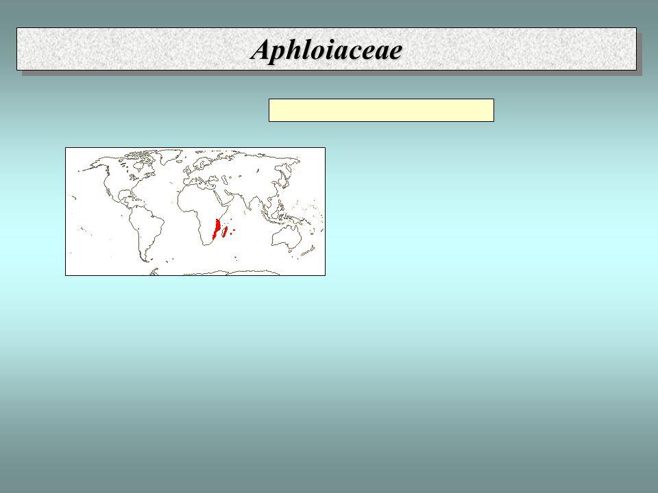 AphloiaceaeAphloiaceae