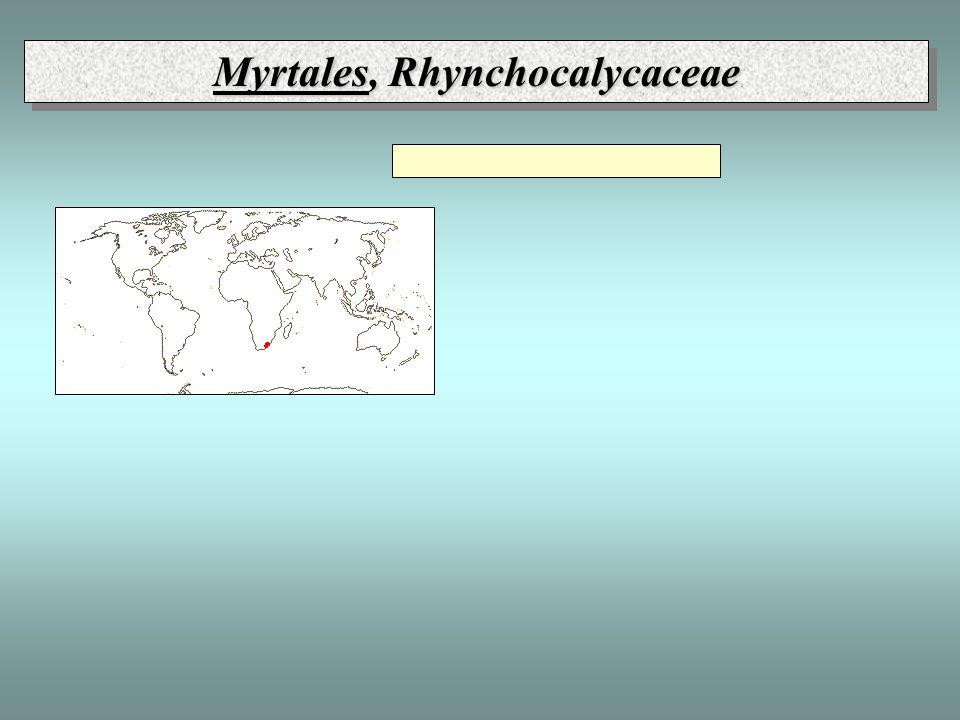 Myrtales, Rhynchocalycaceae