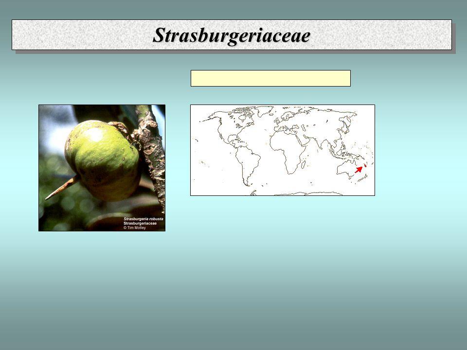 StrasburgeriaceaeStrasburgeriaceae