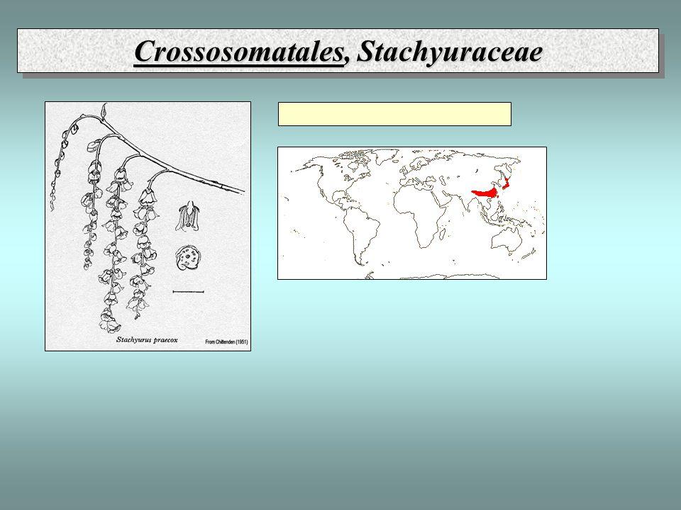 Crossosomatales, Stachyuraceae