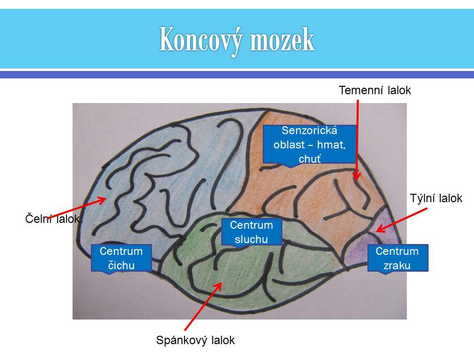 Centrum zraku Centrum sluchu Centrum čichu Senzorická oblast – hmat, chuť Týlní lalok Temenní lalok Čelní lalok Spánkový lalok