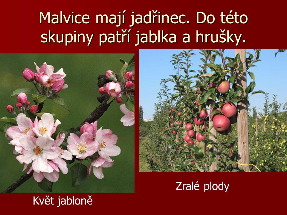 Malvice mají jadřinec. Do této skupiny patří jablka a hrušky. Květ jabloně Zralé plody
