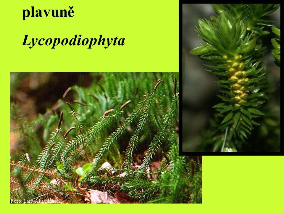 PLAVUNĚ (LYCOPODIOPHYTA) rostliny bylinného vzrůstu (vymřelé byly i stromovité), pravděpodobně se vyvinuly z Rhyniophyt typickým znakem je vidličnaté (dichotomické) větvení lodyh (habituelně i ekologicky odlišnou skupinou jsou šídlatky) listy většinou malé, sloužící k asimilaci = trofofyly výtrusné lístky v klasech = sporofyly sporofyt převažuje nad gametofytem v ČR jsou všechny plavuně chráněné zákonem!!.