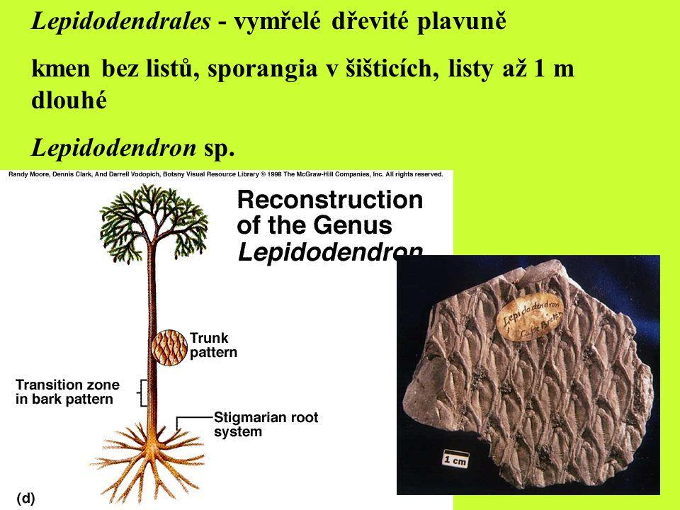 Lycopodiella inundata plavuňka zaplavovaná Diphasiastrum alpinum plavuník alpský