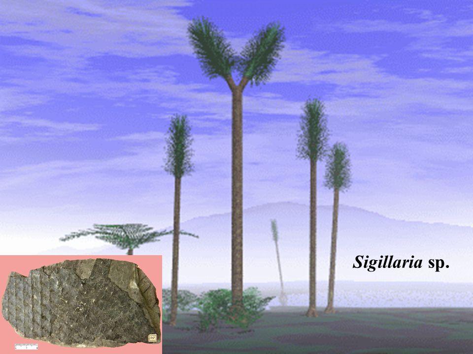 přeslička lesní (Equisetum sylvaticum) 2 typy lodyh, které jsou utvářeny odlišně, ale vyrůstají zhruba ve stejnou dobu; plodné (jarní) lodyhy jsou 10-30 cm vysoké, nevětvené, ale po dozrání výtrusů se rozvětvují a zezelenají; sterilní (letní) lodyhy 10- 60 cm vysoké, přeslenitě větvené ekologie - smrčiny, jedliny, lesní prameniště, lužní lesy, rašelinné louky; indikuje silně podmáčené půdy, (ukazatel zamokření a kyselého prostředí).
