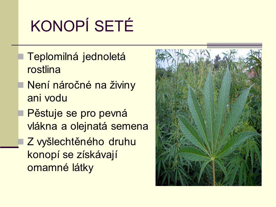 KONOPÍ SETÉ Teplomilná jednoletá rostlina Není náročné na živiny ani vodu Pěstuje se pro pevná vlákna a olejnatá semena Z vyšlechtěného druhu konopí s