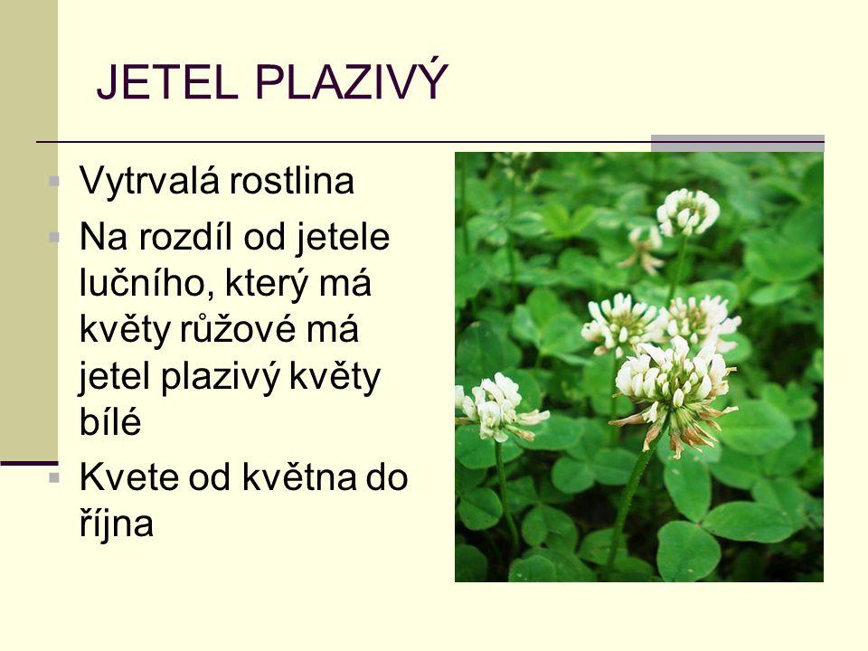 JETEL PLAZIVÝ  Vytrvalá rostlina  Na rozdíl od jetele lučního, který má květy růžové má jetel plazivý květy bílé  Kvete od května do října