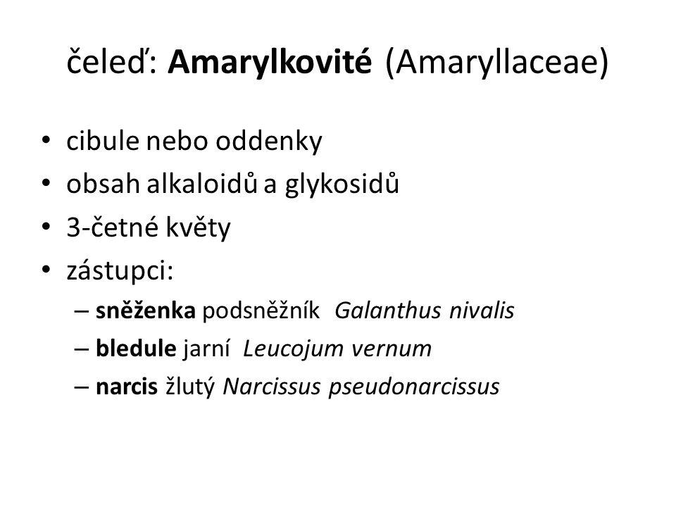 čeleď: Amarylkovité (Amaryllaceae) cibule nebo oddenky obsah alkaloidů a glykosidů 3-četné květy zástupci: – sněženka podsněžník Galanthus nivalis – bledule jarní Leucojum vernum – narcis žlutý Narcissus pseudonarcissus