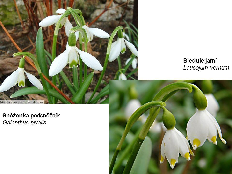 Sněženka podsněžník Galanthus nivalis Bledule jarní Leucojum vernum