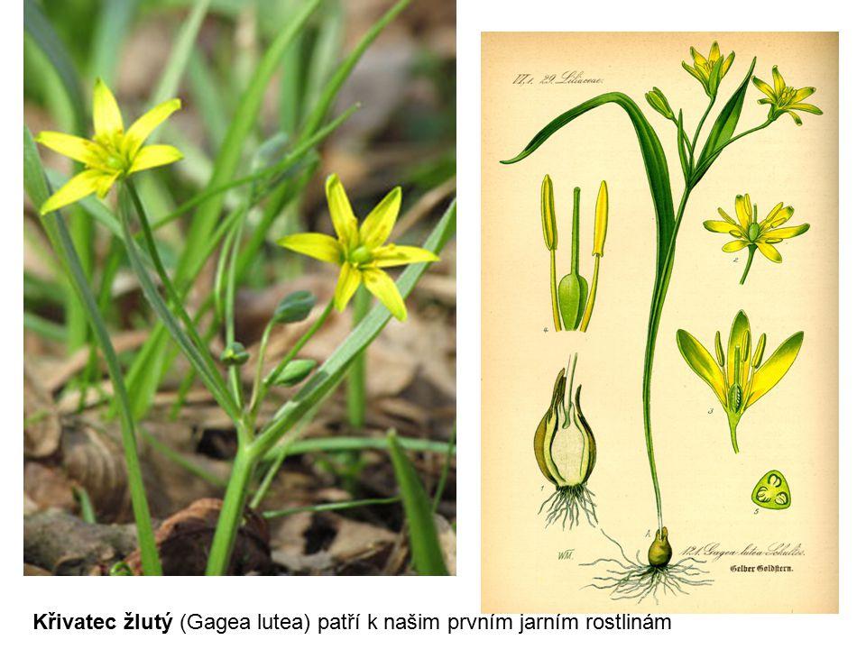 Křivatec žlutý (Gagea lutea) patří k našim prvním jarním rostlinám
