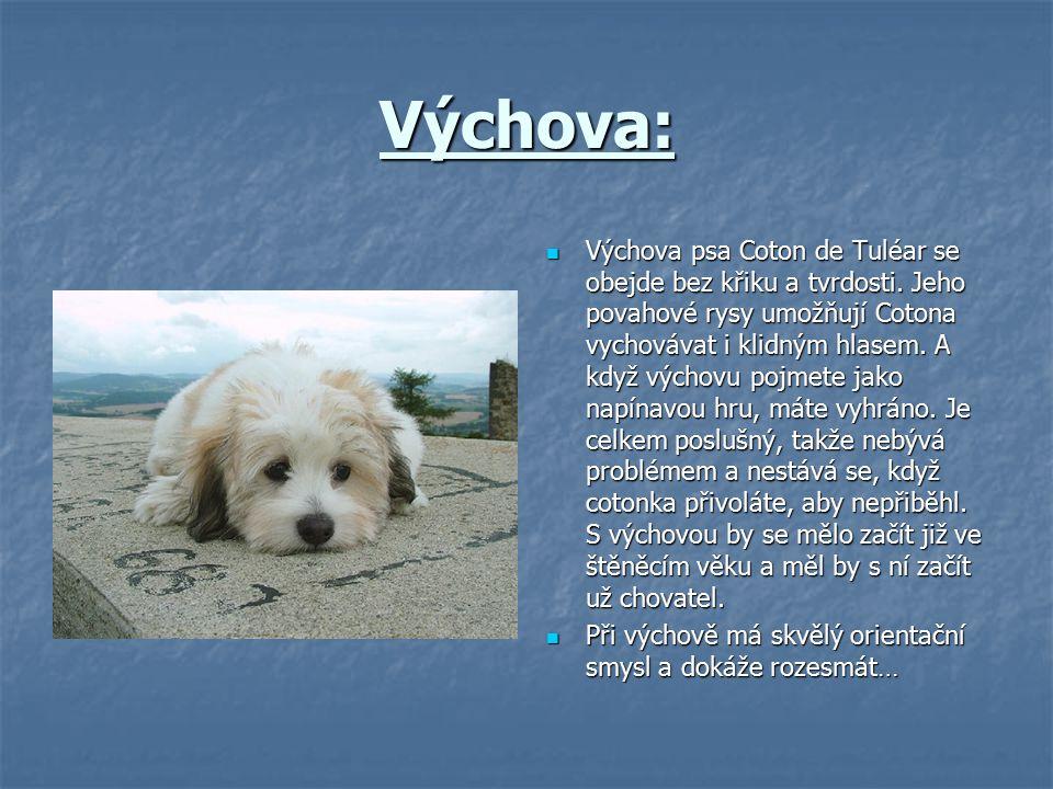 Výchova: Výchova psa Coton de Tuléar se obejde bez křiku a tvrdosti. Jeho povahové rysy umožňují Cotona vychovávat i klidným hlasem. A když výchovu po