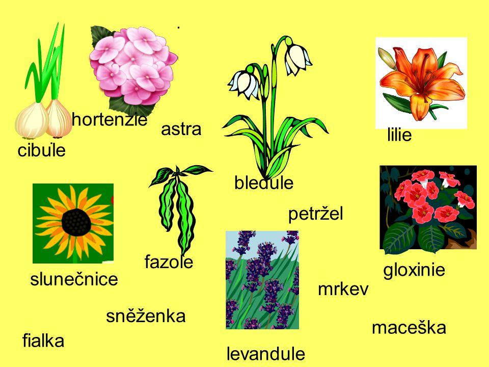 hortenzie bledule lilie slunečnice levandule gloxinie fialka sněženka maceška astra petržel mrkev cibule fazole..
