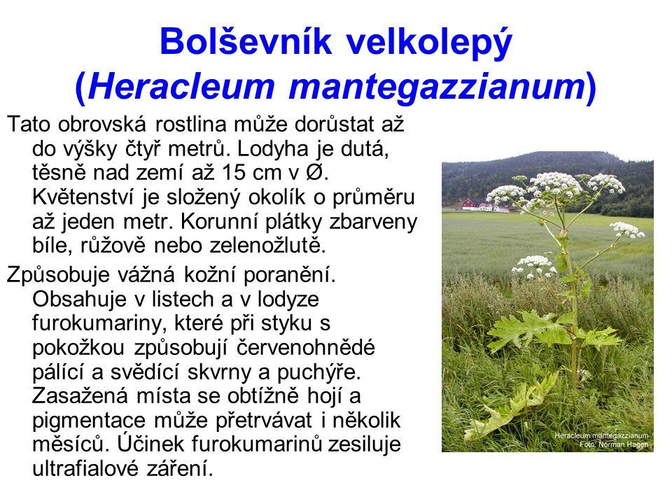 Bolševník velkolepý (Heracleum mantegazzianum) Tato obrovská rostlina může dorůstat až do výšky čtyř metrů.