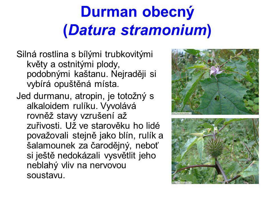 Durman obecný (Datura stramonium) Silná rostlina s bílými trubkovitými květy a ostnitými plody, podobnými kaštanu.