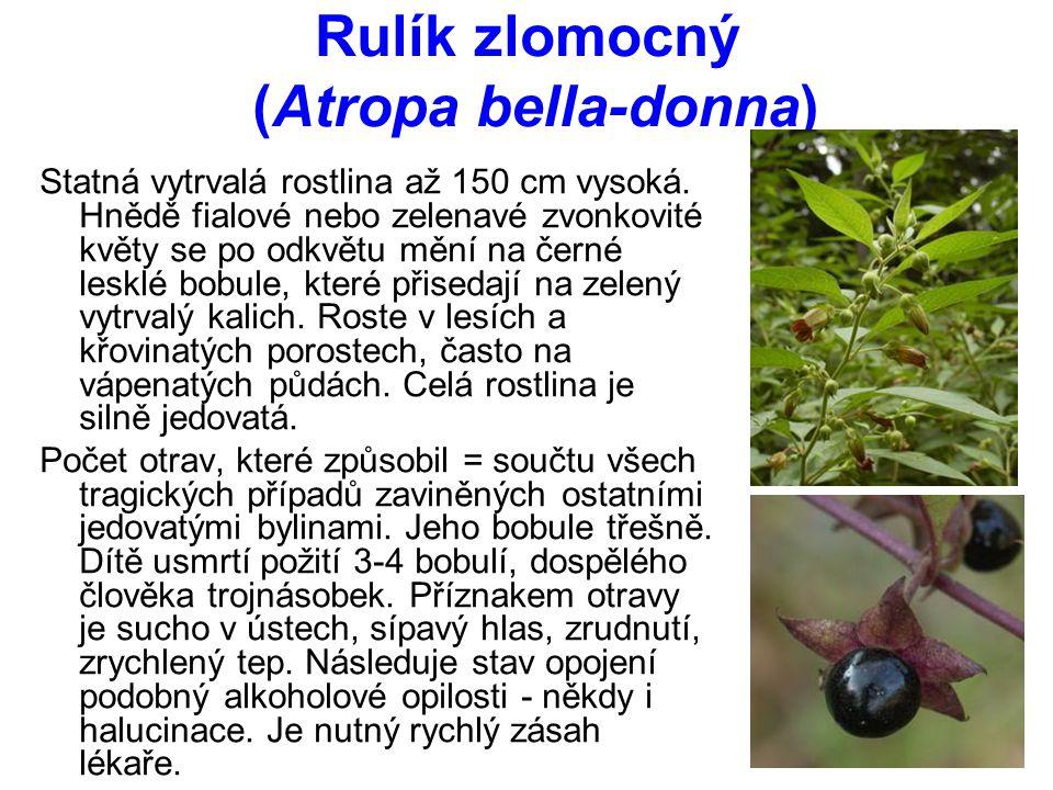 Rulík zlomocný (Atropa bella-donna) Statná vytrvalá rostlina až 150 cm vysoká.