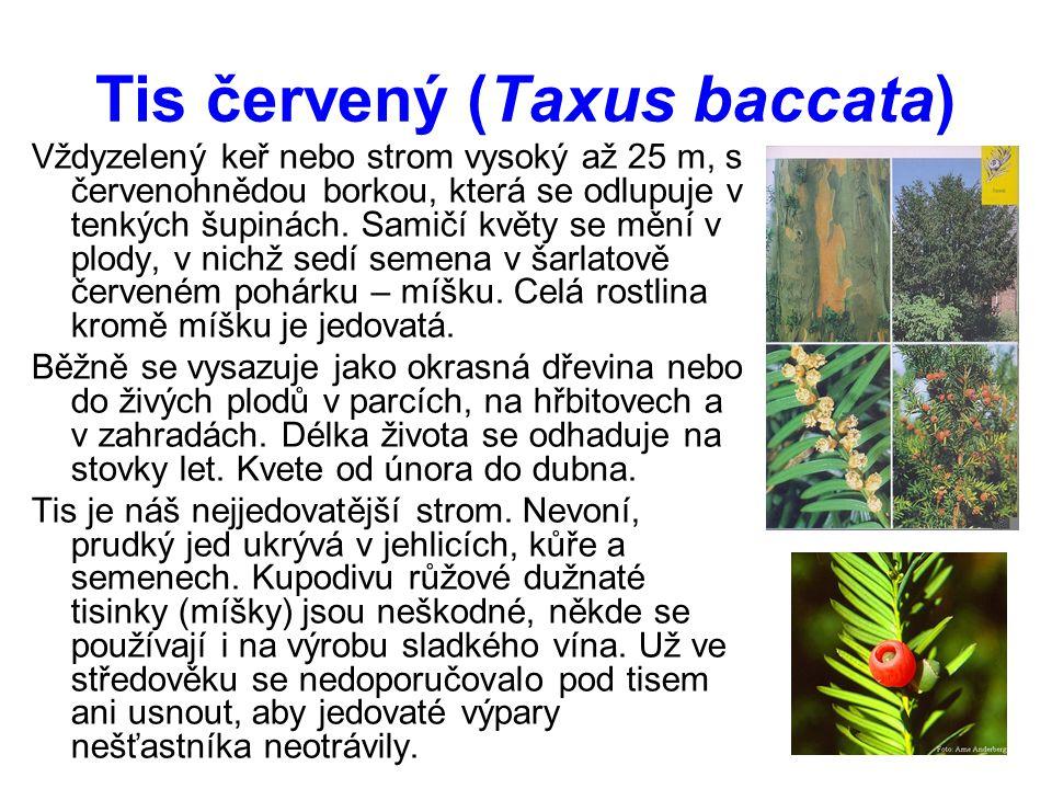Tis červený (Taxus baccata) Vždyzelený keř nebo strom vysoký až 25 m, s červenohnědou borkou, která se odlupuje v tenkých šupinách.