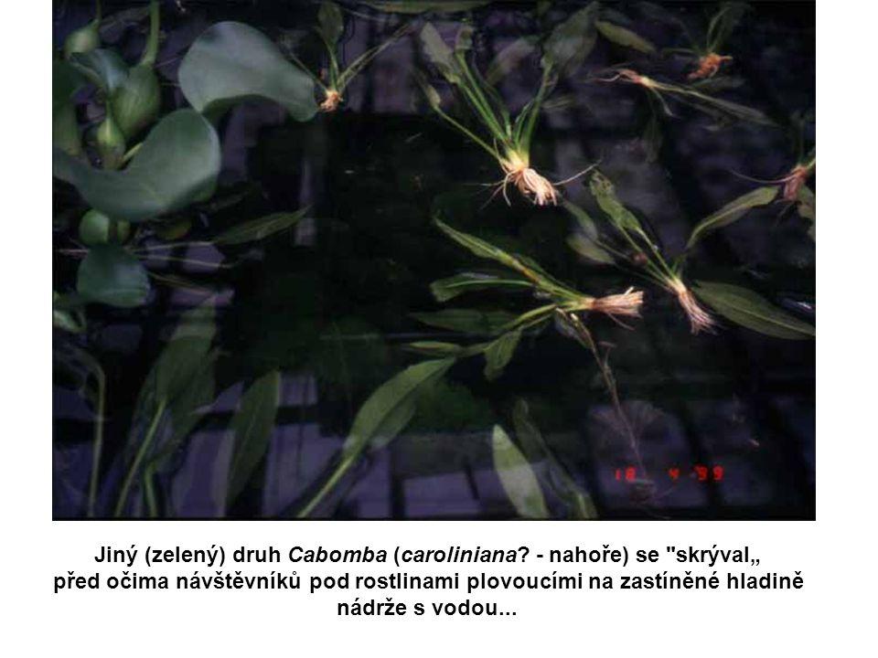 Jiný (zelený) druh Cabomba (caroliniana? - nahoře) se