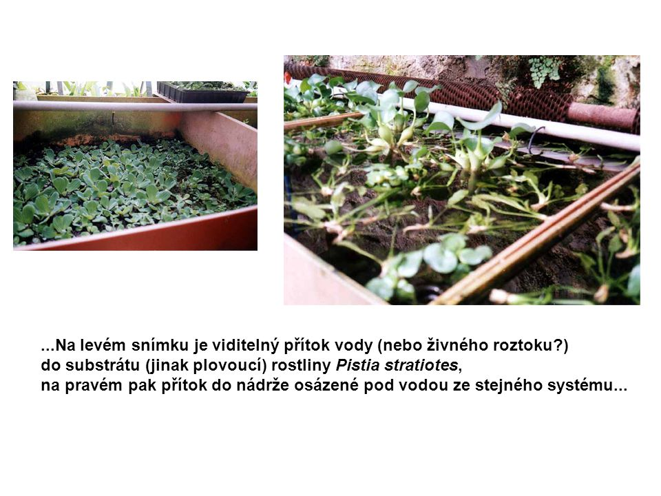 ...Na levém snímku je viditelný přítok vody (nebo živného roztoku?) do substrátu (jinak plovoucí) rostliny Pistia stratiotes, na pravém pak přítok do nádrže osázené pod vodou ze stejného systému...