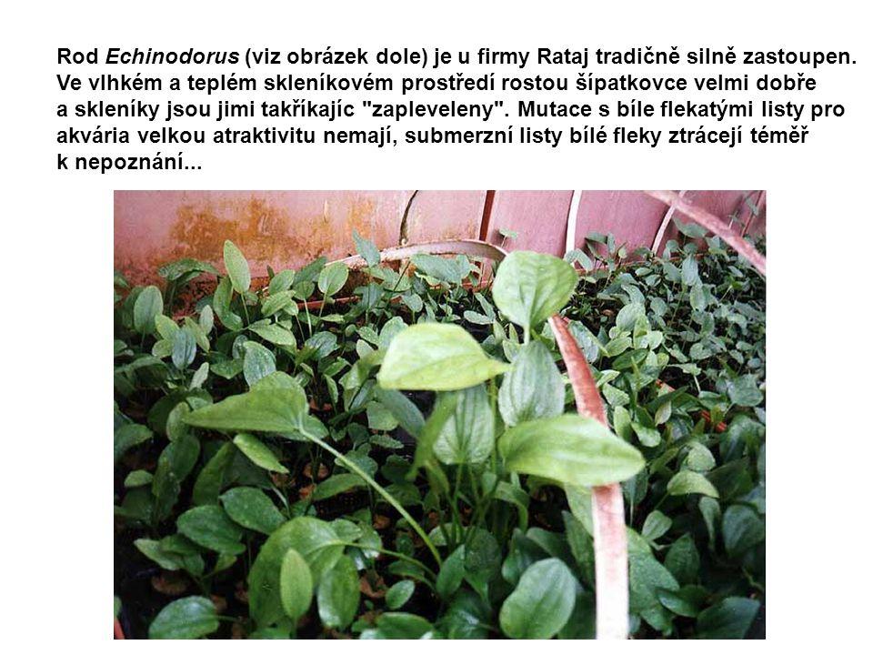 Rod Echinodorus (viz obrázek dole) je u firmy Rataj tradičně silně zastoupen. Ve vlhkém a teplém skleníkovém prostředí rostou šípatkovce velmi dobře a