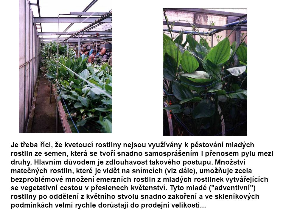 Je třeba říci, že kvetoucí rostliny nejsou využívány k pěstování mladých rostlin ze semen, která se tvoří snadno samosprášením i přenosem pylu mezi dr
