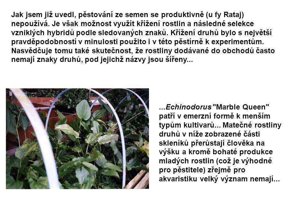 Jak jsem již uvedl, pěstování ze semen se produktivně (u fy Rataj) nepoužívá. Je však možnost využít křížení rostlin a následné selekce vzniklých hybr
