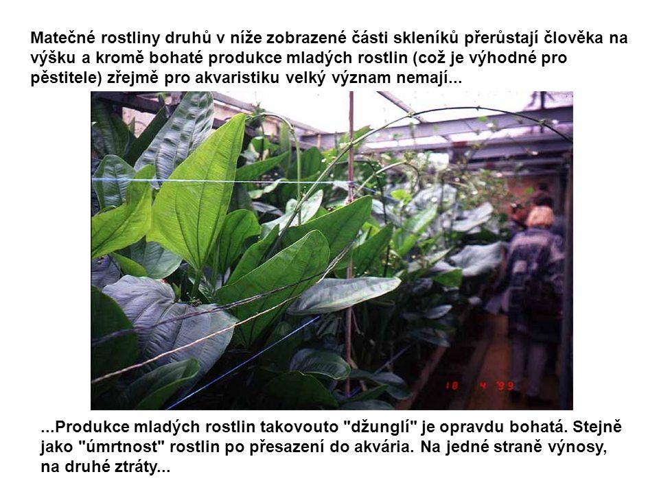 Matečné rostliny druhů v níže zobrazené části skleníků přerůstají člověka na výšku a kromě bohaté produkce mladých rostlin (což je výhodné pro pěstite